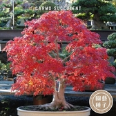 CARMO美國紅楓種子 園藝種子(10顆) 【FR0032】