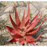 CARMO火紅蘆薈Aloe cameronii種(5顆裝)【F52】