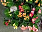 顏色隨機出! [麗格海棠花] 室外植物 3吋活體花卉盆栽 送禮小品盆栽