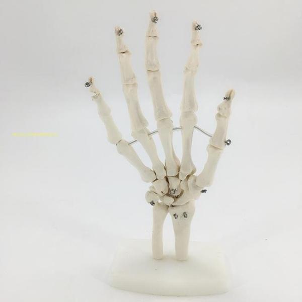 手掌關節模型 人體手關節不帶韌帶模型 人體功能關節模型