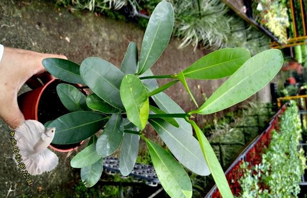 活體 [龍珠果] 室內室外植物 3吋盆栽 送禮小品盆栽