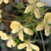 ⓒ黃花洋葵種子(3顆裝) 塊根種子【B22】