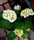 [品種:無盡夏] [5吋藍色繡球花盆栽] 多年生 繡球花 紫陽花活體盆栽 半日照佳