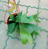 [圓盾鹿角蕨盆栽  5-6吋盆 ] 室內觀葉盆栽 觀賞鹿角蕨盆栽 活體室內植物盆栽 半日照佳