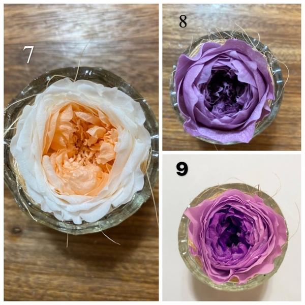 新雙色奧斯丁玫瑰,4-5公分,單朵價格