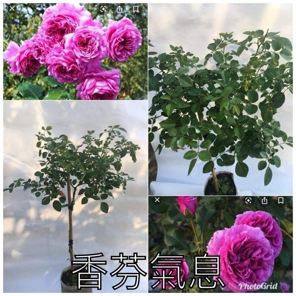 1箱限1盆[香氛氣息] 8吋盆嫁接樹玫瑰花盆栽 幾乎四季開花~務必先問有沒有貨~花牆.庭院拱門