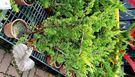 [日本真柏柏樹] 6-8吋盆 活體盆栽 可自行雕塑造形
