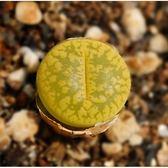 ⓒ黃綠日輪玉C395種子 (10顆裝) 多肉植物生石花種子【E12】