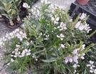 季節花卉 ** 隨意草 ** 6吋盆/ 高30-40公分/ 常開花、會結果子【花花世界玫瑰園】R