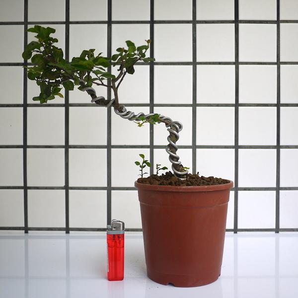 明陽盆栽園*【日本老爺柿(都紅)】樹高20*左右30*幹徑2cm 日本進口