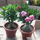 重瓣沙漠玫瑰花苗盆栽四季開花不斷老樁室內陽臺植物好養的花卉 NMS名購居家
