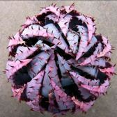 ⓒ柏加蘆薈種子 (5顆裝) x Carmo專屬多肉園 進口多肉植物種子 龍舌蘭科 【F53】
