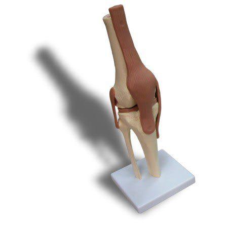 JP-231成人帶韌帶膝關節模型(實用的關節模型/人骨模型/骨骼模型/韌帶模型/教學模型/膝蓋模型)