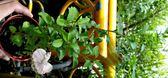 香草植物 枸杞盆栽 3吋盆活體盆栽, 可食用可泡茶