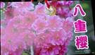 [八重櫻] 櫻花苗 小櫻花樹苗 4寸黑軟盆 室外多年生觀賞花卉盆栽 換大盆或種地上快開花