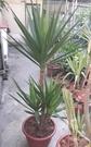花花世界_室內盆景喬木--**綠葉尤加(尤加利)--**好養耐種.樹型優美/1尺盆/高150-180cm/TS(建議宅配