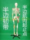 170CM人體骨骼附肌肉著色關節韌帶模型 成人全身骷髏骨架標本教學