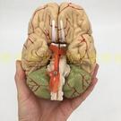 正品醫學 人體大腦解剖模型 腦模型 腦動脈模型 腦干 可拆卸9部件