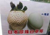 水果苗 ** 日本珍珠白草莓 ** 4.5吋盆/高12-20公分 /散發濃郁的牛奶香氣【花花世界玫瑰園】R