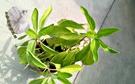 [ 尼基羅草盆栽 5-6吋盆] 香草植物/藥用植物活體盆栽 可食用可泡茶