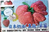 [日本奶油草莓 真飽草莓] 5-6寸盆 新品種草莓苗 ~季節限定~ 先確認有沒有貨再下標