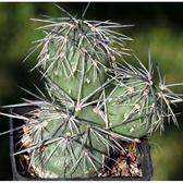 CARMO明暗城仙人掌種子(5顆裝) 多肉植物種子【D31】