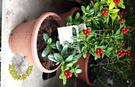[富貴紅 吉祥樹 聖樹盆栽]  室外植物...