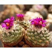 CARMO紅花菊水種子(10顆裝) 多肉植物種子【D52】