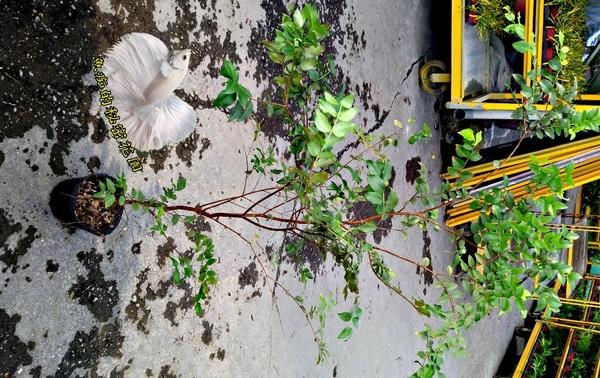 活體 [ 樹葡萄中苗 嘉寶果盆栽] 室外植物 4吋盆栽 送禮盆栽