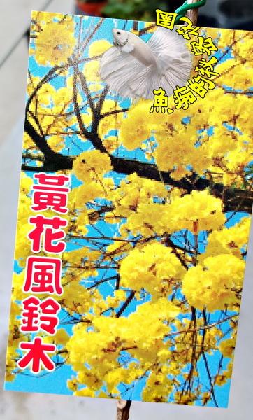 [黃花風鈴木 黃金風鈴木苗] 3吋盆 多年生活體開花行道樹 送禮小品盆栽 室外半日照佳