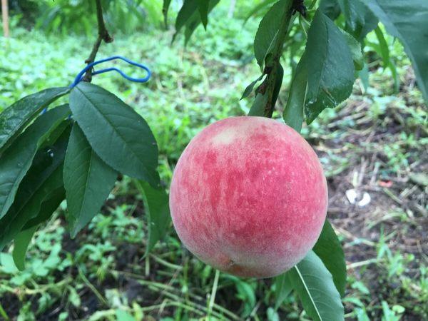[苗栗]採果體驗-花果有機農場(水蜜桃)