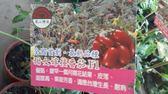 水果果苗 ** 甜女番茄 ** 4.5吋盆/高25-35cm / 果皮薄甜度高【花花世界玫瑰園】R