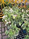 花花世界_常綠攀緣植物--斑葉龍吐珠--**九龍吐珠**/5吋盆/高20~30CM/TC