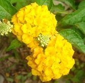 綠籬植物 **各 色馬櫻丹-每組10棵 ** 6吋盆/ 高10-20公分 / 超易開花適應力佳【花花世界玫瑰園】R
