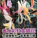 花花世界_爬藤植物*--香水彩虹金銀花--*可以提煉香水/6吋盆/高20-30cm/TS