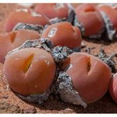 ⓒ短毛毛翠滴玉種子(10顆裝) 肉錐種子【A52】