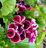 [深紫色 星光天竺葵 開花天竺葵] 5-6吋 室外植物活體盆栽 觀賞花卉盆栽