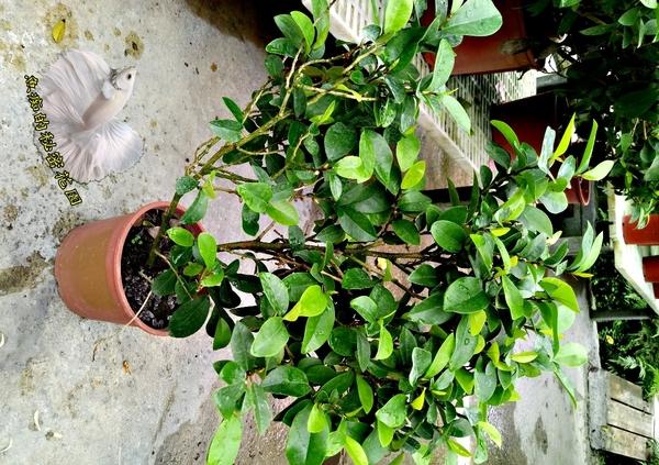 [大 含笑花盆栽 香蕉花] 6吋盆 室外植物 吋活體盆栽 送禮小品盆栽