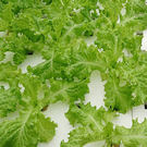 預購 【安心蔬食】水耕蔬菜-綠皺葉萵苣(...