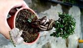 活體 [ 榔榆樹 ] 室外植物 3吋盆栽 送禮小品盆栽