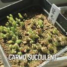 〔買4送1〕 CARMO多肉植物兔斯基碧...