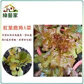 【綠藝家】大包裝A43.紅葉鹿角妹仔菜種子 40克(約27600顆)(日本進口新品種鹿角A菜)