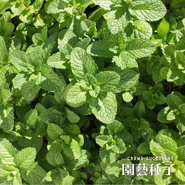 CARMO薄荷種子 園藝種子(50顆) 【FR0012】