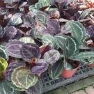 花花世界_綠籬植物--黑玫瑰竹芋--(淨化空氣)/6寸盆/20-30CM/TC