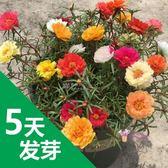 花卉種子 太陽花種子夏天播花籽耐熱四季易種易活盆栽花卉花種孑籽四季開花 5色