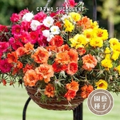 CARMO松葉牡丹混色種子 園藝種子(300顆) 【FR0010】