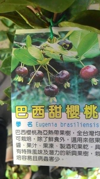 ** 巴西甜櫻桃 ** 4-5吋盆/高40-60cm OvO