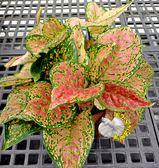 [亞曼尼粗勒草] 6吋盆 活體盆栽 送禮盆栽 室內盆栽 半日照佳