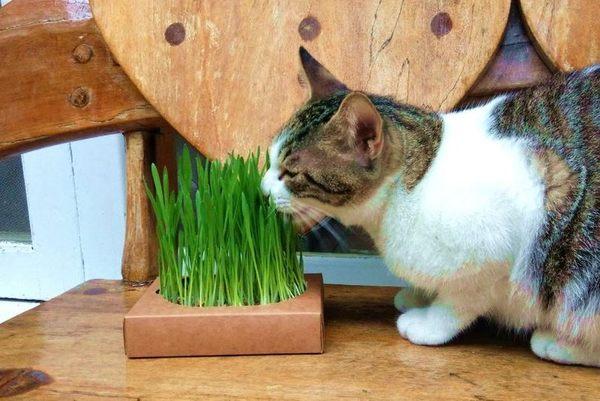 *~寵物FUN城市~*《汪喵星球》貓咪生菜【單盒入】(新鮮貓草栽培盒,貓咪的天然化毛膏)