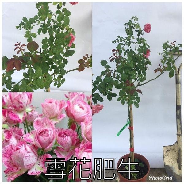 1箱限1盆[雪花肥牛] 8吋盆嫁接樹玫瑰花盆栽 幾乎四季開花~務必先問有沒有貨~花牆.庭院拱門